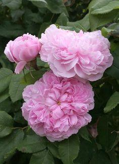 ~Portland Rose: Rosa 'Marchesa Boccella' AKA 'Jacques Cartier' (France, 1842)
