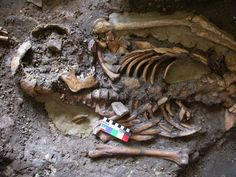 'Fourth strand' of European ancestry originated with hunter-gatherers isolated by Ice Age. DNA was extracted from the molar teeth of this skeleton, dating from almost years ago and found in the Kotias Klde rockshelter in Western Georgia. Anthropologie, Human Evolution, Hunter Gatherer, Ice Age, Bronze Age, Ancient History, Genetics, Ancestry, Archaeology