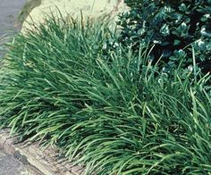 Creeping Lily Turf - Liriope spicata - Groundcovers to Know and Use http://urbanext.illinois.edu/groundcovers/directory/index2.cfm
