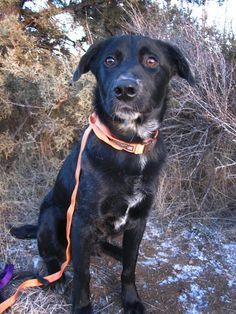 Hey there! My name is Rocket and I am a Cattle Dog/Labrador mix around 1 year old. I was sadly brought to the shelter after my previous owners could not handle my natural herding instincts. Unfortunately I like to herd cats and children under the...  Please let the poor dog be rescued by someone who understands..