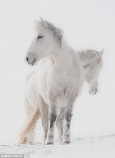 By LiGang Galloping across the snowy steppe, stunning pictures of the wild horses of Mongolia descended from the stables of Genghis Khan Majestic Horse, Beautiful Horses, Animals Beautiful, Cute Animals, Beautiful Images, Horses In Snow, White Horses, Horse Galloping, Horse Love