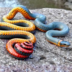 The beautiful and poisonous Regal Ring-necked snake.
