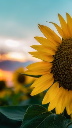 sunflower wallpapers Best Picture For watch wallpaper billie eilish For Your Taste You are looking for something, and it is going to tell you … Wallpaper Images Hd, Beautiful Nature Wallpaper, Pretty Wallpapers, Wallpaper Backgrounds, Diy Wallpaper, Sunflowers Background, Flower Background Wallpaper, Flower Phone Wallpaper, Disney Background