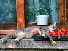En un colchón de tomates