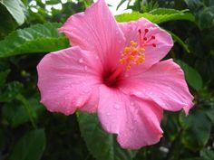 pink hibiscus. love <3