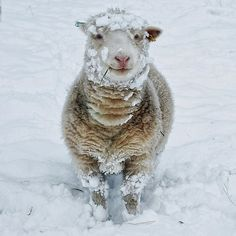 """""""Sheep In The Snow"""", winter, animals, wool Alpacas, Beautiful Creatures, Animals Beautiful, Animal Pictures, Cute Pictures, Farm Animals, Cute Animals, Charity Christmas Cards, Wooly Bully"""