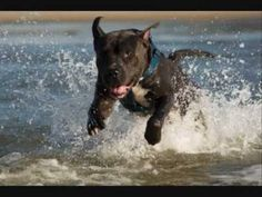 AMAZING American Pitbull Terrier by Naledge