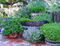 Growing Herbs During a Drought: Your favorite culinary herbs can be grown in a few recycled wine barrels. Here Thai basil, chives, savory, tarragon, sage, French sorrel, and thyme are grouped together and watered by drip irrigation on an automatic timer that comes on twice a day for 5 minutes all summer. A bonus container of strawberries is on the same system. by Rosalind Creasy, blog.seedsavers #Garden #Drought #Herbs