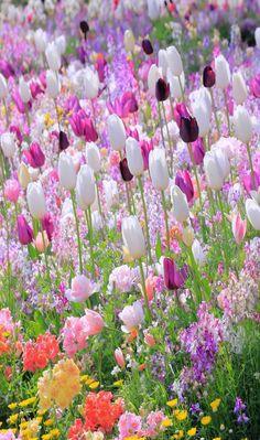One Million Tulips Tulips Flowers, Flowers Garden, Pretty Flowers, Spring Flowers, Wild Flowers, Roses, Flower Pictures, Flower Wallpaper, Amazing Flowers
