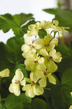 Browse Geranium seeds that bloom into vivid color in your beds and containers all summer long. Find geranium annual flower seeds and plants for sale at Burpee. Tulips Flowers, Orange Flowers, Love Flowers, Planting Flowers, Beautiful Flowers, Flower Gardening, Hardy Geranium, Plant Breeding, Gardens