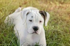 American bulldog female Tundra
