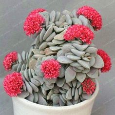 Would like one of these: Crassula morgans beautyAssorted 100 Piece Succulent and Cactus Seed PacketsC and D's Succulents - Page 12 Bouquet Succulent, Crassula Succulent, Sempervivum, Succulent Gardening, Succulent Terrarium, Bonsai Plants, Cactus Plants, Garden Plants, Cacti And Succulents