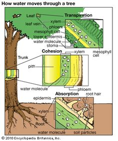 Art:Water is absorbed by root hairs and passes through several layers to the xylem. It them moves upward to the stems and leaves, where it e...