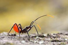 Arilus cristatus (Reduviidae) wheel bug nymph  Urbana, Illinois, USA