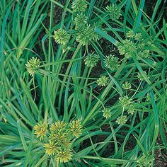 Yellow nutsedge (Cyperus esculentus)