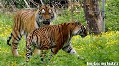 tigres parc des félins