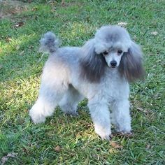 Silver toy poodle puppy                                                       …