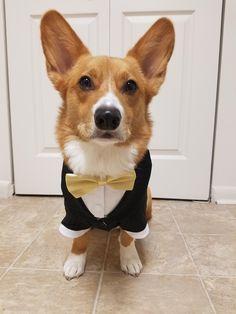 The Queens corgis — The most adorable Ring Bearer/Best Man. Corgi Dog Breed, Dog Breeds, Corgi Clothes, Welsh Corgi Pembroke, Really Cute Dogs, Diy Dog Toys, Companion Dog, Animals And Pets, Fur Babies
