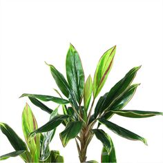 "55.25"" Decorative Potted Artificial Two Tone Greenand Red Dracaena... (1.484.780 IDR) ❤ liked on Polyvore featuring home, home decor, floral decor, red home accessories, red home decor and red pot"
