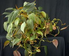 Plants are the Strangest People: List: Green-Leaved Plants With Red or Purple Undersides