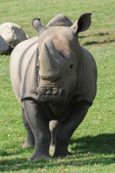 In celebration of Endangered Species Day, here is one of the best conservation comebacks -- the white rhino!