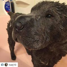This pic is everything! Thank you for sharing!! #Repost @kaej10 ・・・ Spa day! #zymoxbath and #zymoxears today! Our stinky girl smells so much better, and I'm sure she will feel better too once the shock wears off. @zymox_official #topsharpei