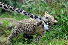 Obsessed with this.... leopard cub pulling on its mother's tail.