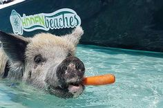 Book tickets for FAMOUS SWIMMING PIGS TOUR BAHAMAS - FULL DAY POWERBOAT TO EXUMA FROM NASSAU, Nassau - $399.00