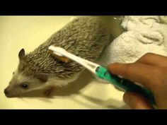 In this video I describe and demonstrate how to clean an African Pygmy Hedgehog. You will need: a hedgehog, two towels(one wet, one dry), a toothbrush(soft b. Hedgehog Bath, Pygmy Hedgehog, Cute Hedgehog, Pet Life, Funny Animal Memes, Guinea Pigs, How To Look Pretty, Fur Babies, Cute Animals