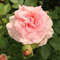 Morden Blush. Ivory to light pink. Continuous flowering. Zone 3.