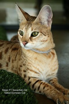 MAGIC F1 Savannah Cat World's Tallest