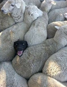 When you lied on your CV about having previous sheepdog experience…