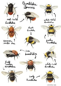 Find out who's buzzing round your garden, and stop killing what you think are wasps, because they are a form of a BEE. Illustration by Catherine Pape by shelby I Love Bees, Bee Art, Bee Happy, Save The Bees, Bees Knees, Queen Bees, Bee Keeping, Artsy, Sketches