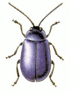 Here you have the 'purple bug'... that, of course, is the scientifical name as I cannot recall its common name...
