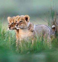 Cecils cubs