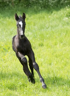 The 2013 crop of licenced Hanoverian foals from Witcham House Farm Stud - see more details on www.hanoverianstud.com