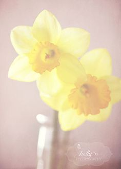 Dreamy+Daffodils+Soft+and+Dreamy+Daffodil+by+kellynphotography