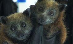 Baby Fruit Bats