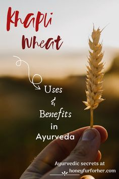 Khapli Wheat, Emmers Wheat Benefits For Weight Loss, Diabetes, Heart Diseases,