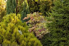 Soft color from conifers and a peony in fall foliage by Janice LeCocq Photography