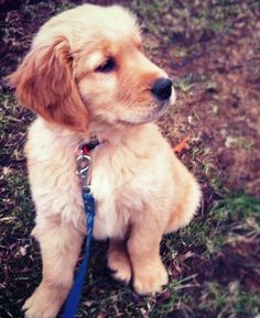 Kirby the Golden Retriever