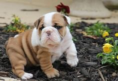 Collection pictures of cute bulldog puppies