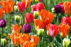 De Tulp in Nederland en in Keukenhof