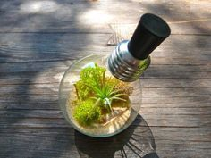 Mini Terrarium Sukkulenten Glühbirne sammeln