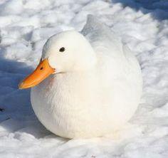 Ducks Make Great Pets. Poor, poor, Mr. Soup.