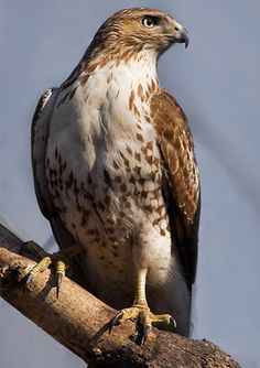 Red-tailed Hawk: Found in Alaska and Canada south to Panama. Found in open country, woodlands, prairie groves, mountains, plains, farmlands, and roadsides.