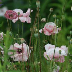 Johnsons graines Sarah Raven fleurs coupées Delphinium Blanc King Seed