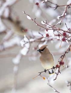 Cedar Waxwings are common in Maine all year round, but rarely alone – they almost always forage in flocks.
