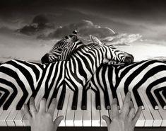 zebre-piano