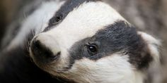 Urge the Irish Government to Crack-Down on the Cruel Blood 'Sport' of Badger Baiting